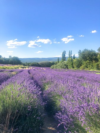 Roussillon, France: The Provence lavender in early July.