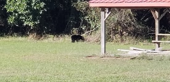 Creswell, NC: This young bear walked right onto the pier we were fishing in front of.