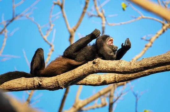 Guanacaste Nature Tours: Mono aullador , uno de los mas comunes de las 4 especies de Costa Rica