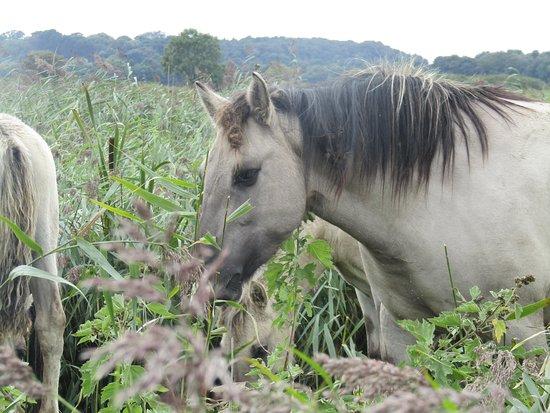 Westleton, UK: Konik ponies