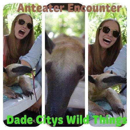 anteater encounter