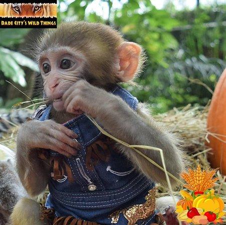 baby monkey pumpkin patch