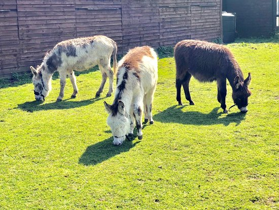 Louth, UK: Donkey Trio - Petal, Lola and Coco