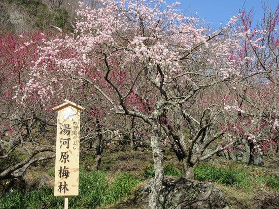 Yugawara-machi, Nhật Bản: いろいろな梅