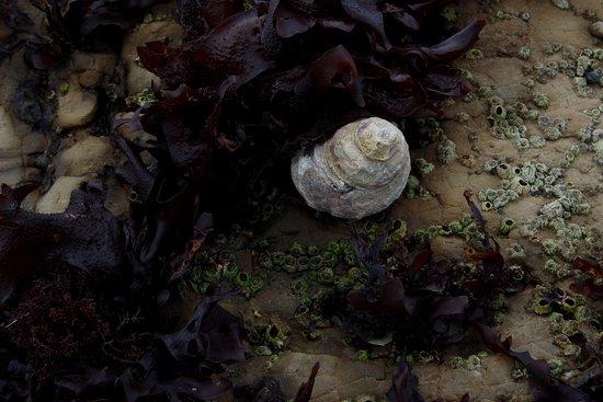 Agate Beach: shell