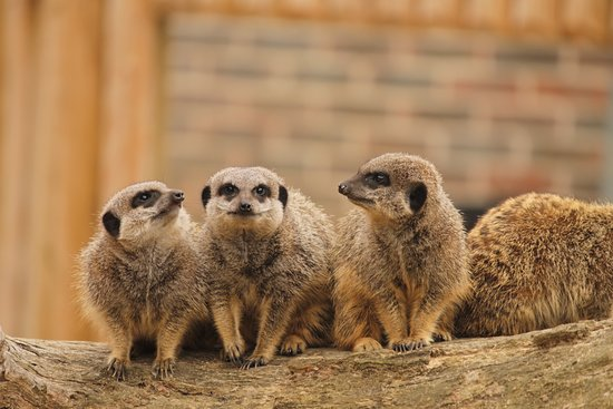 Maidenhead, UK: Meerkats