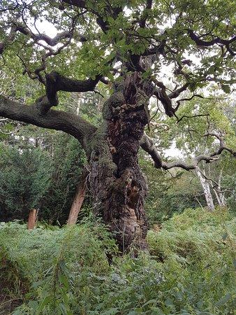 Nottinghamshire, UK: Wonderful trees in Sherwood Forest