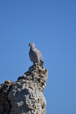 Lee Vining, CA: A dove perched on a tufa at south Mono Lake