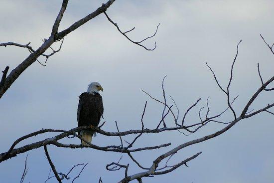 Schroeder, MN: Eagle at Temperance River