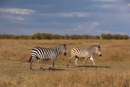 Zebra at Masai Mara