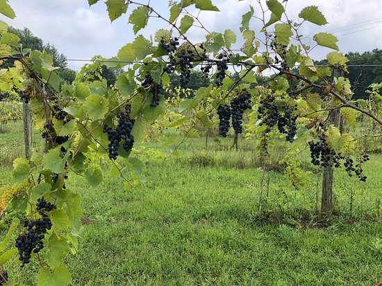 Fenton, MI: Seven Lakes Vineyard