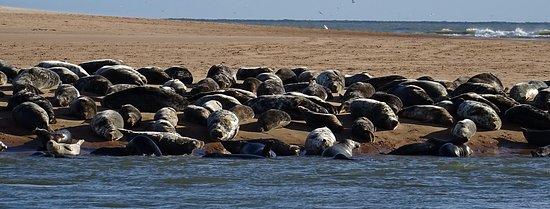 Newburgh, UK: Seals on the Beach
