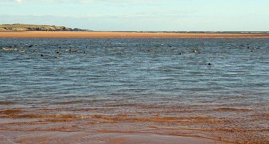 Newburgh, UK: Seals in the Water