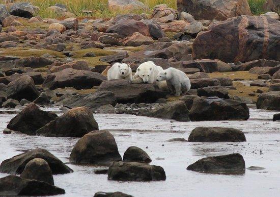 Seal River, Canada : Mum and cubs passing through