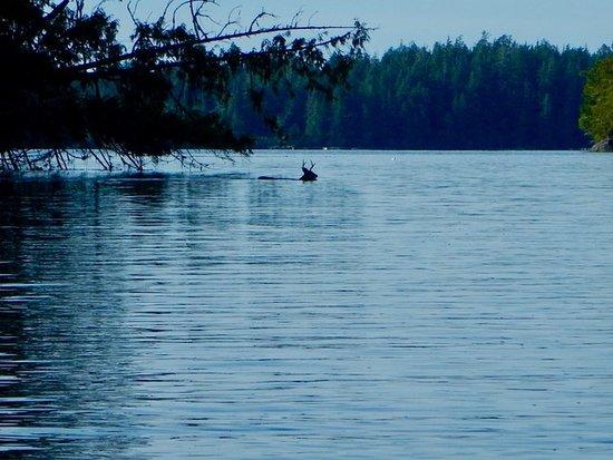 Hello Nature Adventure Tours : deer swimming between islands in the broken groups