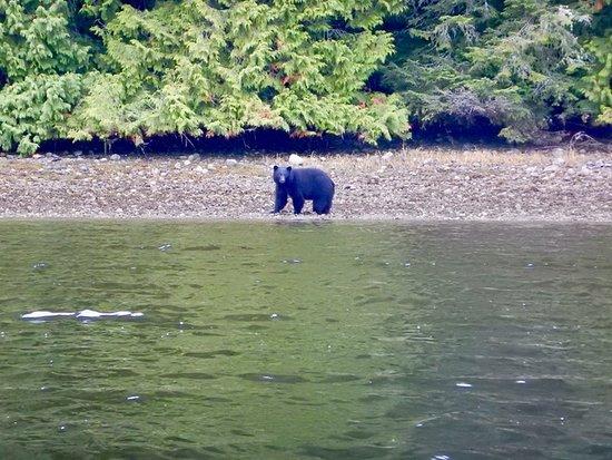 Hello Nature Adventure Tours : bear on shoreline during harbour tour