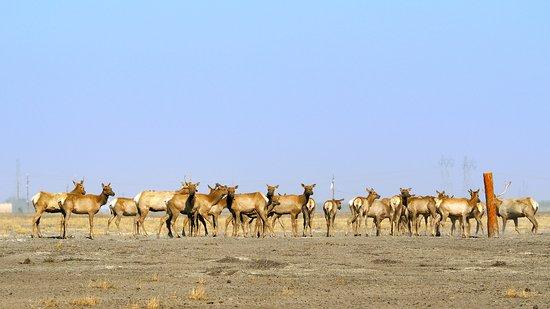Buttonwillow, CA: Herd of Tule Elk Cows