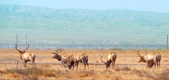 Buttonwillow, Kalifornia: Herd of Tule Elk Bachelor Bulls against the Los Padres Mountains