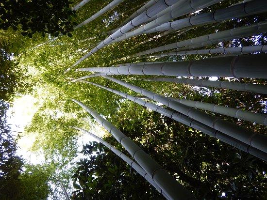 Isola Madre: Bamboo