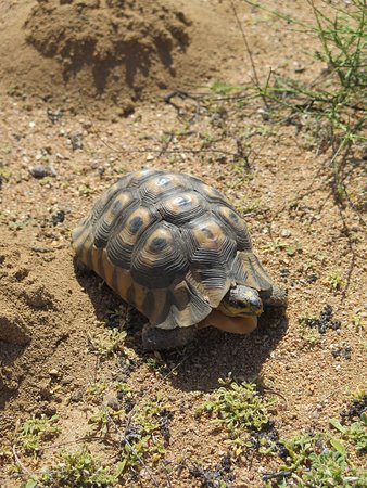 Garies, แอฟริกาใต้: Tortoise country