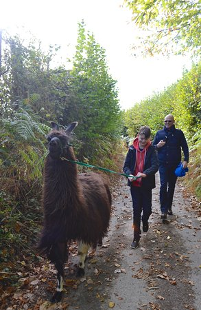 Wadhurst, UK: Llama walk in East Sussex