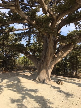 Kalavarda, Greece: WHAT a tree - how old this ceder might be?