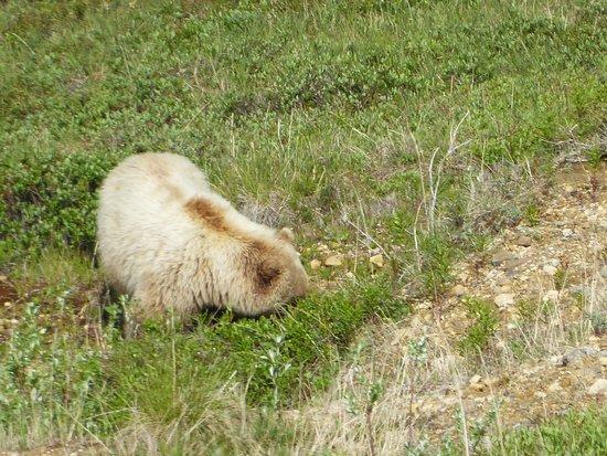 Brown Bears in Denali