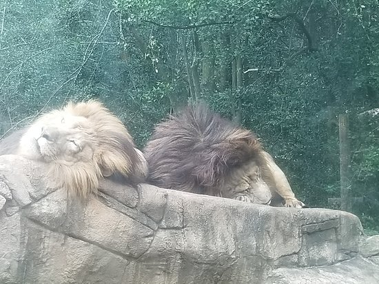 Greenville Zoo: typical cats