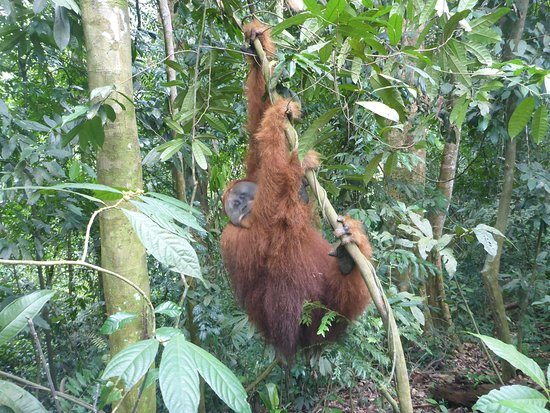 amazing seeing this male orangutan- our guides didn't try to put out fruit to attract them