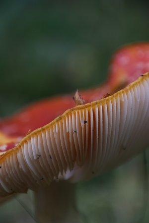 Contin, UK: Rogie Falls wild mushroom