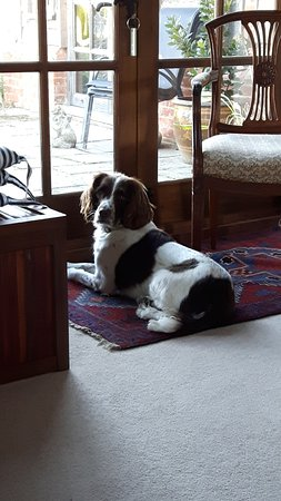 Mersham, UK: Lovely and very friendly family dog in the guest sitting room