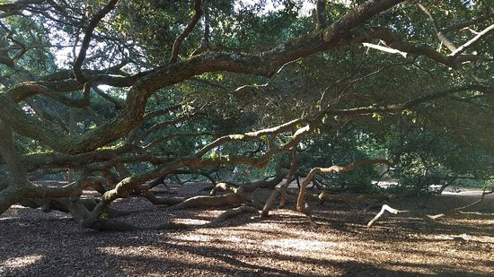 20181029_093204_large jpg - Picture of Angel Oak Tree, Johns