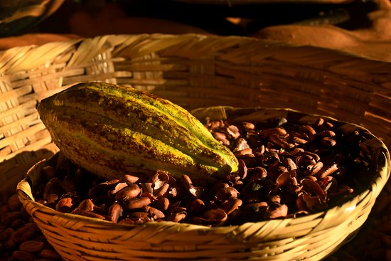 Mazorca fresca de cacao en un cesto con cascarillas de semillas.