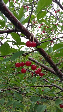 Sturgeon Bay, WI: Tart cherries that are ripe for picking