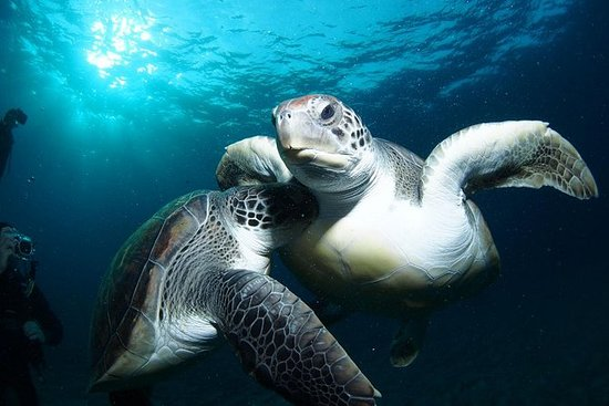 Tenerife Turtle and Snorkel Tour from...