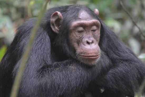 1 day Chimpanzee Tracking Tour in...