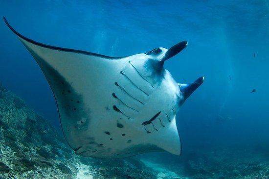 Snorkeling avec les raies manta