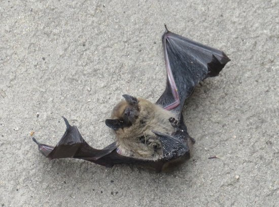 Bat found in the tower at Craignethan Castle