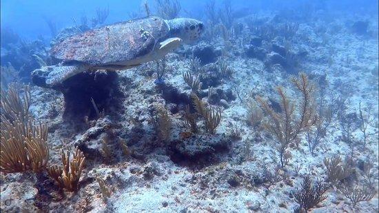 Dive Exuma: Turtle 3