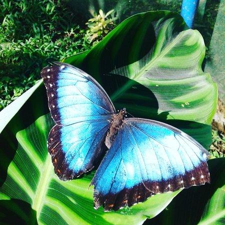 San Carlos, Costa Rica: Morpho