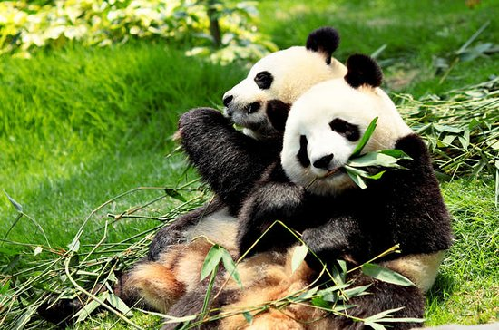 Dagstur: Chengdu Panda Breeding Base ...