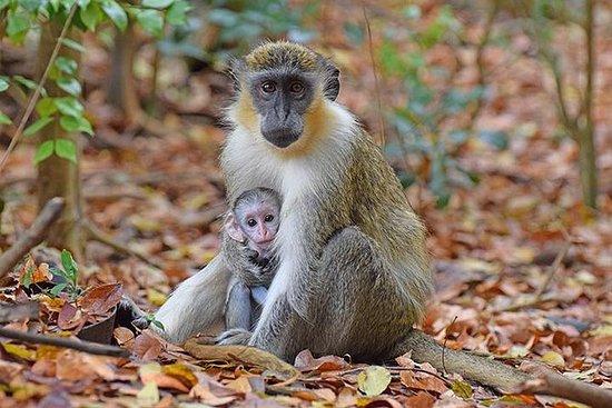 Affe Fütterung