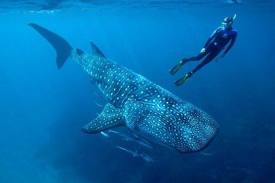 Hvalhaj Svømning i Cancun