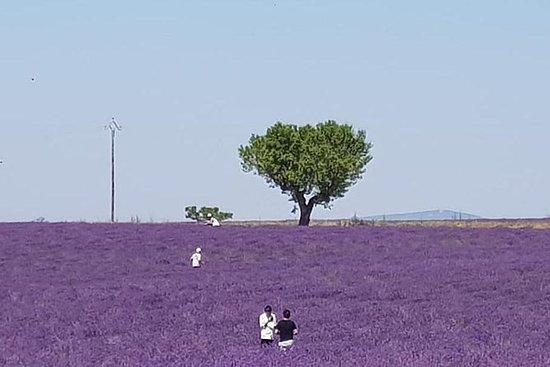 Lavender half day tour