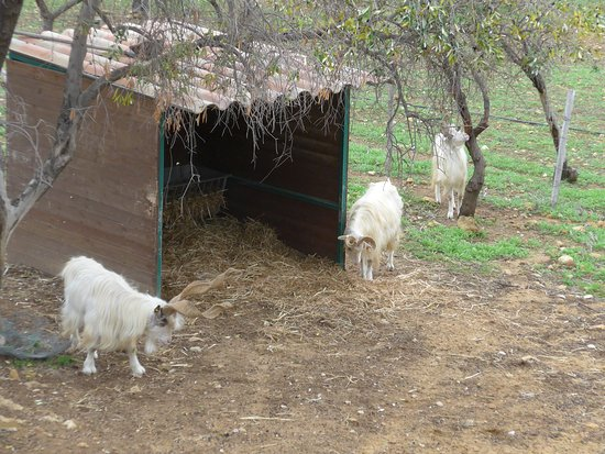 Agrigento, Valley of the Temples, the return of the goat