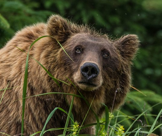 "Lake Clark National Park and Preserve, AK: This brown bear photo taken by Roger Twilley in Lake Clark National Park was a winner in our 2017 National Park Photography Contest. While on a guided photography tour, everyone else was focused on the cubs but he shot the grizzly mom. ""Most people picture grizzly bears as mean, but she looked more at ease and relaxed,"" Twilley says. ""She didn't care who was around. In the moment, it looked like she was enjoying everything around her."""