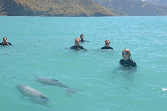 Swimming with Wild Dolphins in Akaroa: Curious dolphins checking us out in Akaroa