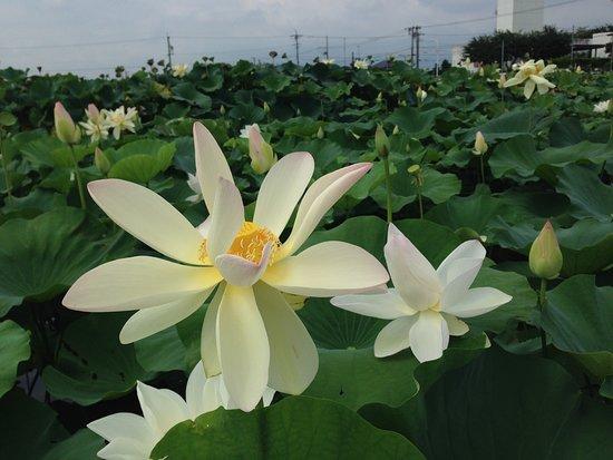 Hashima, Giappone: 蓮の花