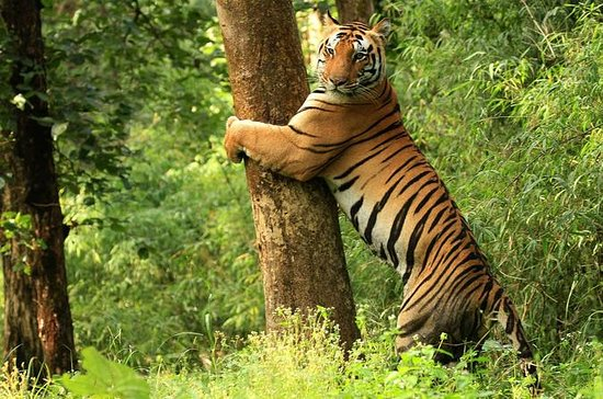 Tiger Safari au parc national de Kanha : Tiger Safari at Kanha National Park