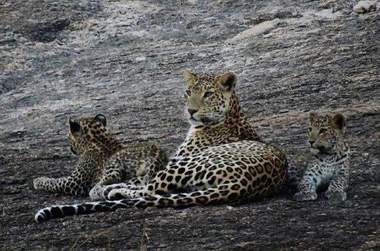 Övernattning Leopard Safari
